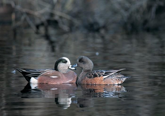 Wigeon duck hen - photo#27